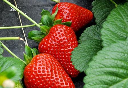 fragole scelte a Eden della Frutta