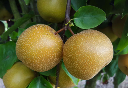 Le varietà più rare di mele a Eden della Frutta come la mela ninchi