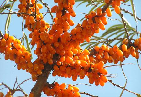 Le bacche di olivello spinoso